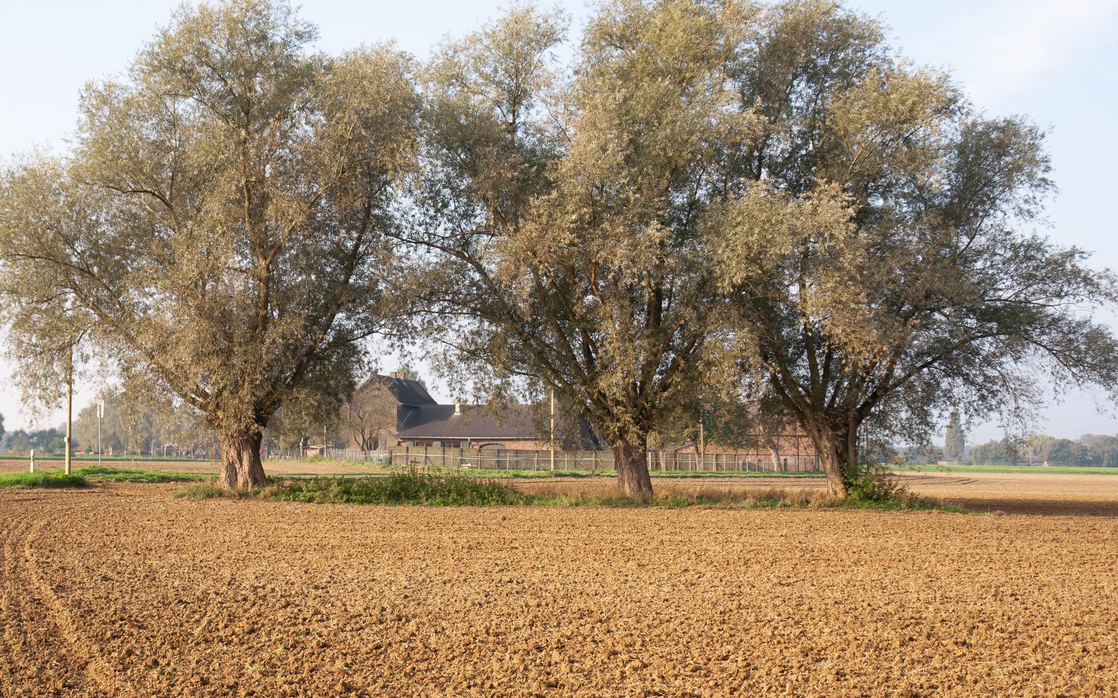 Drei Weiden auf einem Feld in Vluyn